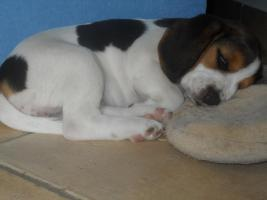 Neue Familienmitglied?Beagle Welpe!:-)