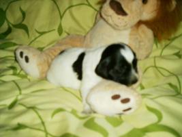 Foto 6 Niedliche Cockermixbabys ab März abzugeben.