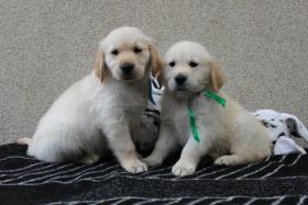 Noch 2 Goldie-Jungs suchen ein Zuhause