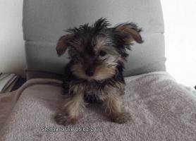 Foto 2 Noch 3 Yorkshirer Terrier Welpen (geb.13.11.13) zu Verkaufen