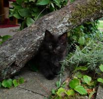 Foto 2 Norwegische Waldkatze