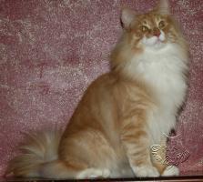 Norwegische Waldkatze sucht noch seine Katzenpflegeeltern.