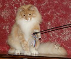 Foto 2 Norwegische Waldkatze sucht noch seine Katzenpflegeeltern.