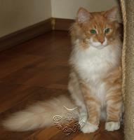 Foto 6 Norwegische Waldkatze sucht noch seine Katzenpflegeeltern.