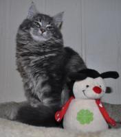 Norwegische Waldkatze - süße Kätzchen mit Pap.
