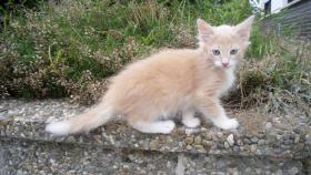 Foto 2 Norwegische Waldkatzen Baby mit viel Fell .Luxpinselchen