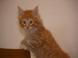 Foto 3 Norwegische Waldkatzen Babys