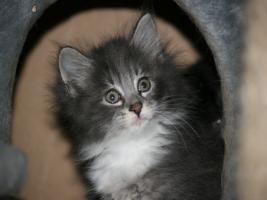 Foto 4 Norwegische Waldkatzen Babys