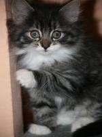 Foto 8 Norwegische Waldkatzen Babys