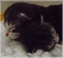 Foto 3 Norwegische Waldkatzen von Deekelsen