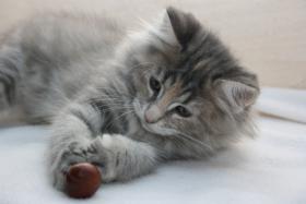 Norwegische Waldkatzen Kitten ab sofort zu vergeben