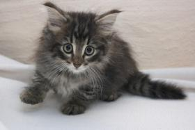 Foto 2 Norwegische Waldkatzen Kitten ab sofort zu vergeben