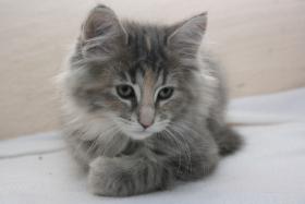 Foto 3 Norwegische Waldkatzen Kitten ab sofort zu vergeben