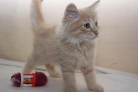 Foto 5 Norwegische Waldkatzen Kitten ab sofort zu vergeben