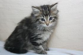 Foto 6 Norwegische Waldkatzen Kitten ab sofort zu vergeben