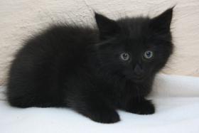 Foto 7 Norwegische Waldkatzen Kitten ab sofort zu vergeben