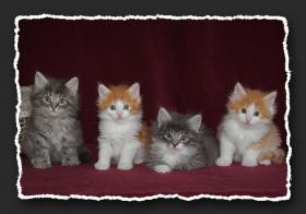 Norwegische Waldkatzen Kitten suchen noch liebe Bauchkrauler