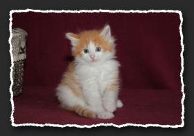 Foto 3 Norwegische Waldkatzen Kitten suchen noch liebe Bauchkrauler