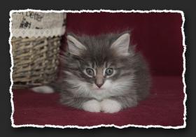 Foto 4 Norwegische Waldkatzen Kitten suchen noch liebe Bauchkrauler