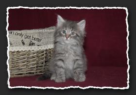 Foto 7 Norwegische Waldkatzen Kitten suchen noch liebe Bauchkrauler