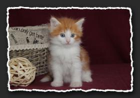 Foto 9 Norwegische Waldkatzen Kitten suchen noch liebe Bauchkrauler