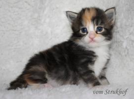 Foto 3 Norwegische Waldkatzen vom Strukhof