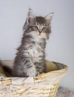 Foto 4 Oberwalls Kitten