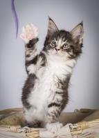 Foto 6 Oberwalls Kitten