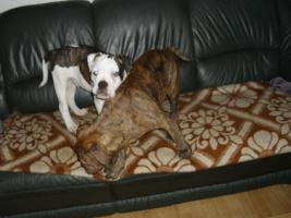 Foto 3 Old englishe Bulldoggen Welpen   Rüden