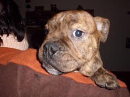 Foto 4 Old englishe Bulldoggen Welpen   Rüden