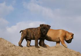 Foto 3 Olde English Bulldoggen Welpen