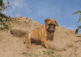 Foto 4 Olde English Bulldoggen Welpen