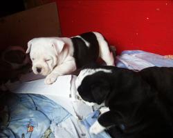 Foto 3 Olde english Bulldog Welpen