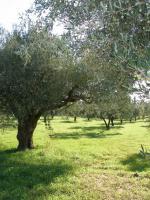 Foto 2 Olivenhain in Griechenland