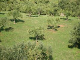 Foto 4 Olivenhain in Griechenland
