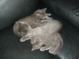 Foto 3 Orientalische kurz haar -Russisch blau kitten