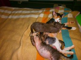 Original LaPerm Kitten