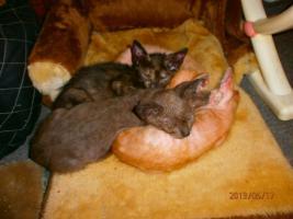 Foto 2 Original LaPerm Kitten