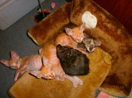 Foto 3 Original LaPerm Kitten