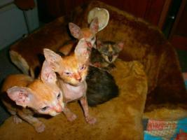 Foto 4 Original LaPerm Kitten