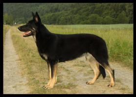 Foto 3 Osteuropäischer Schäferhund