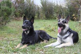 Foto 4 Osteuropäischer Schäferhund