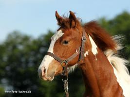 Foto 2 Paint Horse Stütchen 1,5 jahre