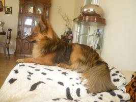Foto 5 Paperanian(Spitz-Papillon)  In Amerika ein Rassehund , Designer Dog  Deckrüde sucht nette Damen !