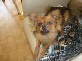 Foto 6 Paperanian(Spitz-Papillon)  In Amerika ein Rassehund , Designer Dog  Deckrüde sucht nette Damen !