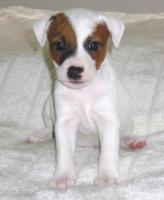 Foto 3 Parson Jack Russell Terrier