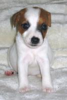 Foto 4 Parson Jack Russell Terrier