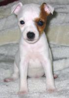 Foto 5 Parson Jack Russell Terrier