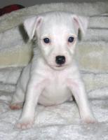 Foto 6 Parson Jack Russell Terrier