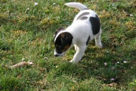 Foto 2 Parson Jack Russell Terrier